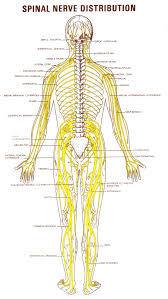 Nerve Map Diagram Arm Nerves From Spine Human Anatomy Charts