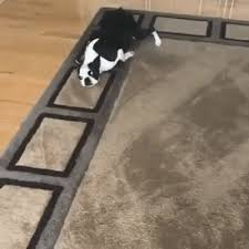 a silly boston terrier propels herself around the living room rug