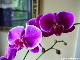 moth orchid how i water my phalaenopsis orchids