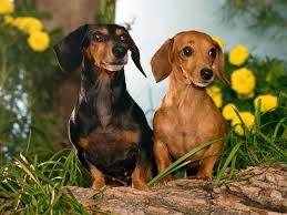 types of dogs small breeds of dogs with images wallpaper