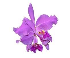 purple orchid flower purple orchid flower free image on pixabay