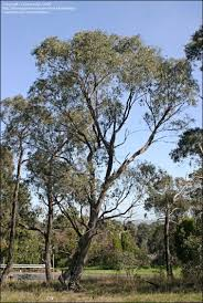 plantfiles pictures eucalyptus species narrow leaved peppermint