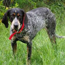 bluetick coonhound song bluetick coonhound breed guide learn about the bluetick coonhound