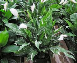 Peace Lily Peace Lily Spathiphyllum Ssp Dennis U0027 7 Dees