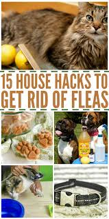 16 house hacks to get rid of fleas yards flea removal and house
