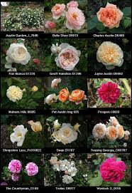 25 trending old english roses ideas on pinterest english roses