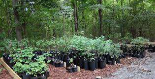tree stewards sale offers inexpensive saplingsc ville weekly