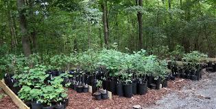 tree stewards sale offers inexpensive saplingsc ville weekly