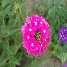 Verbena Flower Favorable 100pcs Verbena Hybrida Seeds Potted Verbena Hybrida