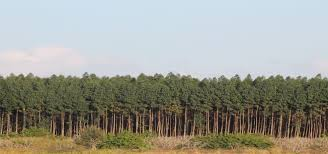 monoculture tree plantations and ge trees in the united states