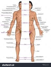 Human Anatomy Male Anatomy Of Males Females Human Body Anatomy Male And Female Stock