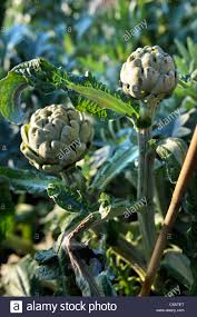 winter globe artichokes growing on into late autumn in a vegetable