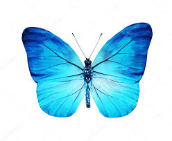 turquoise blue butterfly isolated on white stock photo