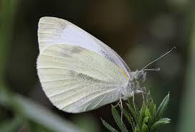 dragonflies butterflies mythology
