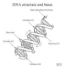 dna structure and bases coloring page free printable coloring pages