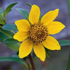 e flora bc plant identification page