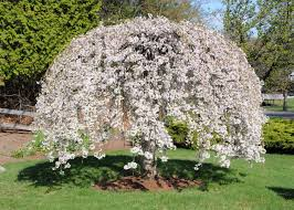 Flowering Cherry Shrub - weeping cherry tree front yard pinterest weeping cherry tree