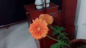 how to self pollinate gerbera daisies youtube