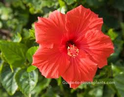 Which State Has A Hibiscus by Growing Hibiscus Indoors Hibiscus Rosa Sinensis