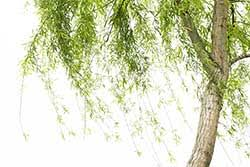 willow definition and meaning collins dictionary