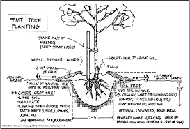 planting advice trees of antiquity heirloom fruit trees for