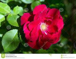 flower climbing red rose stock photo image 56151700