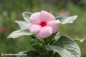 vinca flower vinca flower pictures madagascar periwinkle pictures