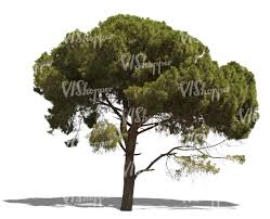 cut out mediterranean pine tree cut out plants pine
