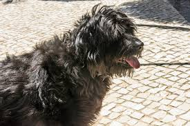 belgian sheepdog dogtime portuguese water dog breed information pictures characteristics