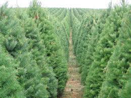 your christmas tree u0027s carbon footprint sightline institute