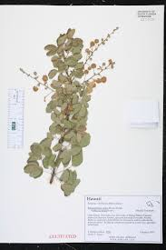 native plants of mexico herbarium specimen details isb atlas of florida plants