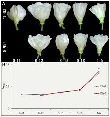 cotton flowers the flavonoid pathway regulates the petal colors of cotton flower