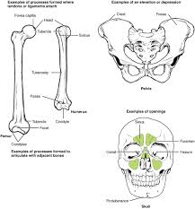 Anatomy And Physiology Skeletal System Test Bone Structure Anatomy And Physiology