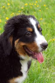 australian shepherd kinds what are the best kinds of farm dog breeds cuteness