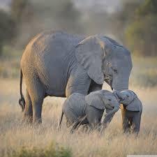 apple wallpaper elephant african elephants mother and adorable babies 4k hd desktop