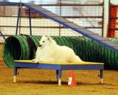 american eskimo dog breeders new england 3 american eskimo u003c3 eskies pinterest american eskimo puppy
