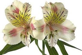 peruvian lilies are peruvian lilies poisonous flowers for cats home guides sf