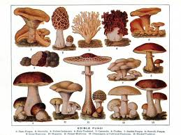 edible photo history of edible mushrooms the history kitchen pbs food