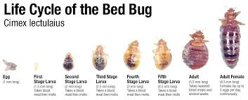 remedies for bed bug bites treatment for bed bugs treat bed bug bite home remedy shinesquad