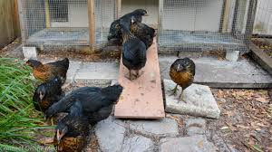 backyard chickens now allowed in safety harbor safety harbor connect