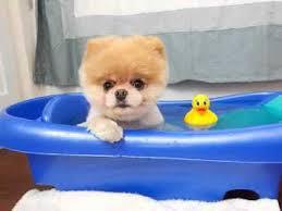 Dogs In The Bathtub Boo The World U0027s Cutest Dog Youtube