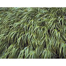 shop 1 quart variegated japanese forest grass lw03974 at lowes