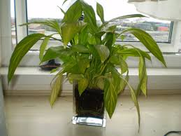 peace lily care houseplant care tips