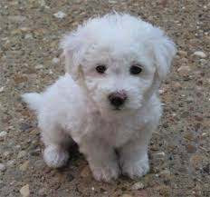 bichon frise in ohio october u0027s breed of the month bichon frise camp bow wow westlake