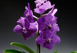 orchid pictures the meaning and symbolism of the word orchid