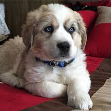 australian shepherd white great pyrenees and australian shepard adorable and cute puppy mix