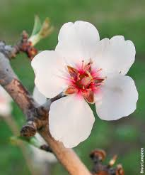 flower fruit yield in almond is related more to the abundance of flowers than