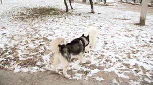 american pitbull terrier vs siberian husky siberian husky vs samoyed animal totems and messages information