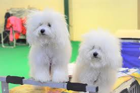 crufts bichon frise 2014 latest news donocielo bolognese