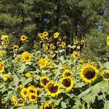 flagstaff native plant and seed conservation the arboretum at flagstaff